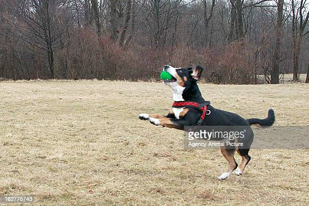 An Entlebucher Sennenhund is catching ball in the English Garden on March 08, 2012 in Munich, Germany.