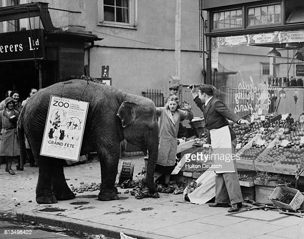 An Epsom grocer shoos an elephant named Rosie away from his street display after she has already sent crates of fruit tumbling to the pavement The...