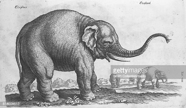 An etching that depicts three elephants in an open field the image comes from a French educational text the elephant in the foreground has its trunk...