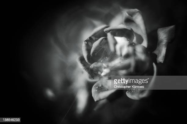 An ethereal image of a rose