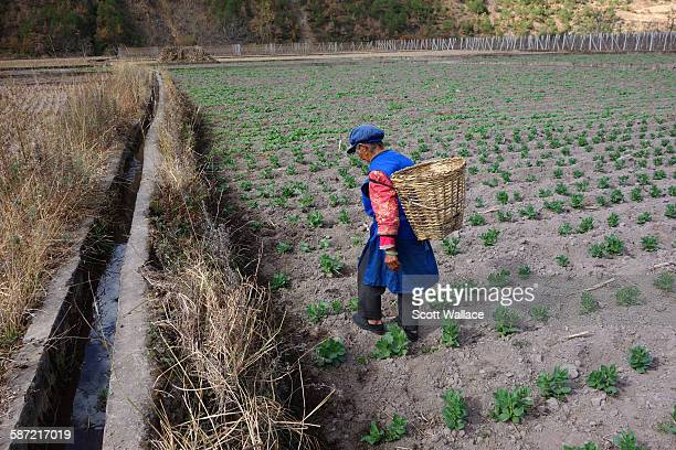 An ethnic Naxi peasant woman walks across her irrigated field in the Upper Mekong River Valley Yunnan Province China 2012