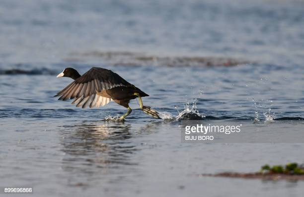 An Eurasian coot 'Fulica atra' runs on the water at the Maguri beel wetland near Dibru Saikhowa National Park in Tinsukia district about 514 km from...
