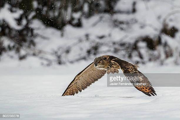 an eurasian eagle owl flying over the snow during snowfall. bubo bubo. - gufo reale foto e immagini stock