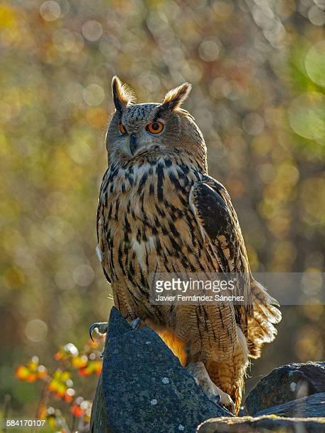 An eurasian eagle owl in autumn with bokeh
