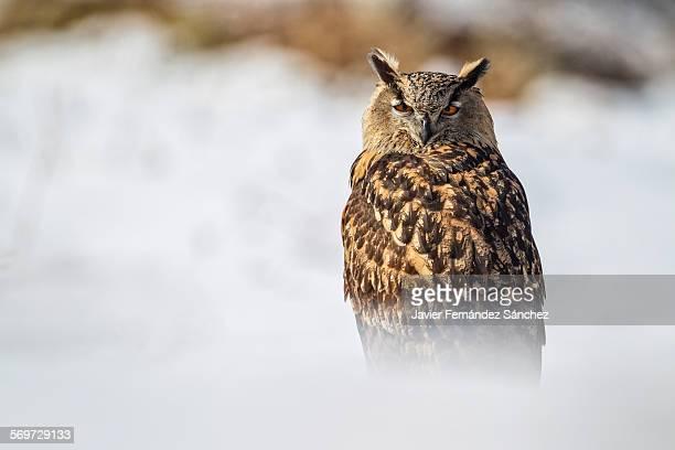 an eurasian eagle owl in the snow - hibou grand duc photos et images de collection