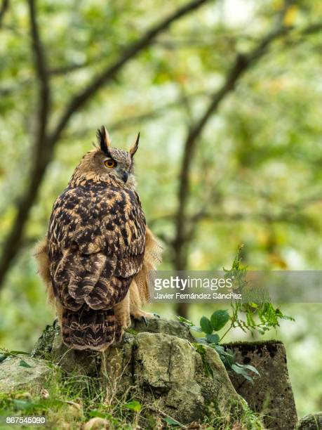 an eurasian eagle owl (bubo budo) perched in the forest. - gufo reale foto e immagini stock