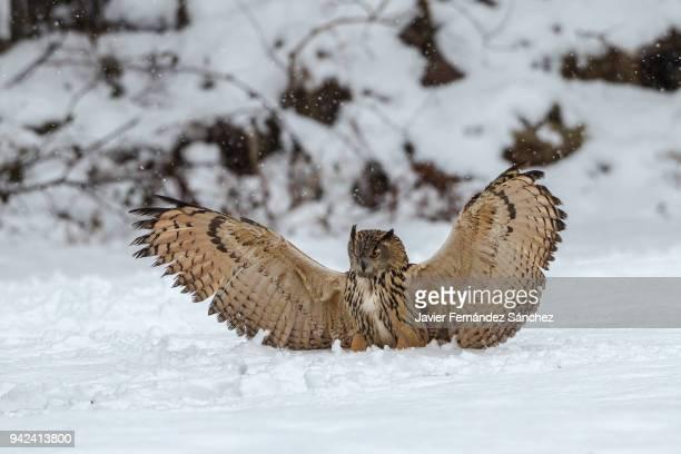 An eurasian eagle owl (Bubo bubo) perching on the snow.