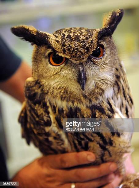 An Eurasian Eagle Owl waits is prepared for vaccination again the avian flu at the Jurong Bird Park in Singapore on May 7, 2010. Some 600 species of...