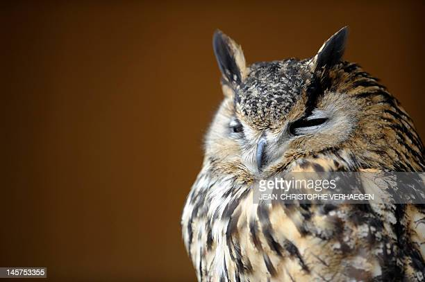 An Eurasian eagleowl is pictured at the zoo of Amneville eastern France on June 5 2012 AFP PHOTO / JEANCHRISTOPHE VERHAEGEN