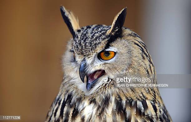 An Eurasian Eagleowl is pictured on April 21 2011 at a zoo in Amneville AFP PHOTO / JEANCHRISTOPHE VERHAEGEN