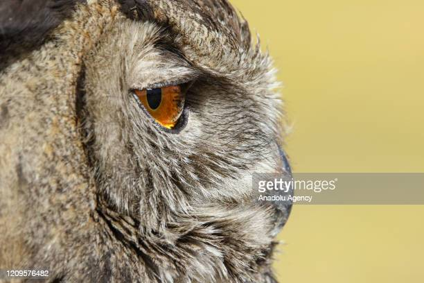 An Eurasian eagle-owl is seen after 108 species of birds of prey treated in a year and left to their natural habitats by Yuzuncuyil University animal...