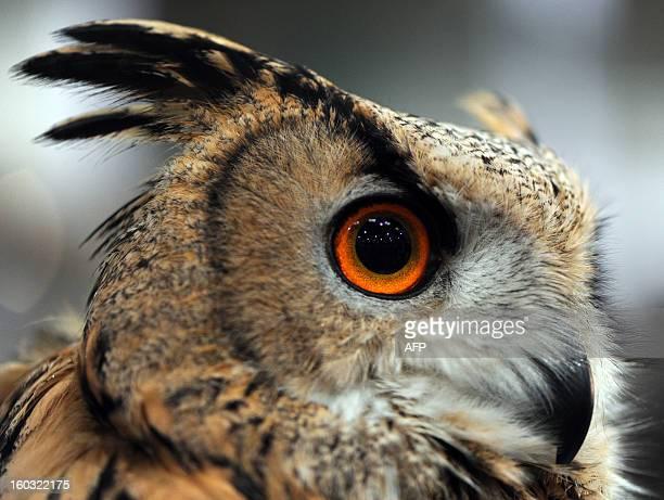 "An Eurasian Eagle-Owl is seen on January 29, 2013 at the ""Jagd & Hund"" fair in Dortmund, western Germany. Organisers of the fair running until..."