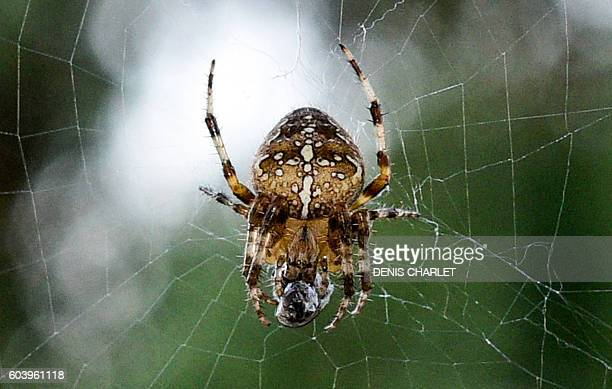 An European garden spider wraps its prey a mosquito in silk on September 13 2016 in Lille France / AFP / DENIS CHARLET