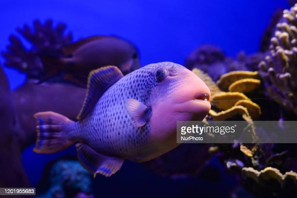 An example of Titan Triggerfish seen at the Underwater Observatory Marine Park aquarium in the Israeli resort city of Eilat on the shore of the Red...