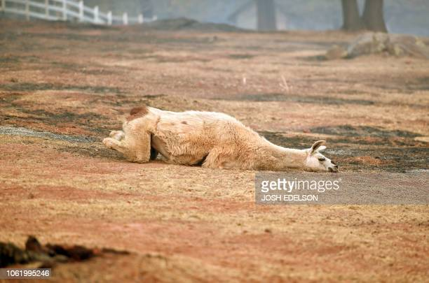 TOPSHOT An exhausted llama lays in a partially burned field in Paradise California on November 15 2018 The toll in the deadliest wildfires in recent...