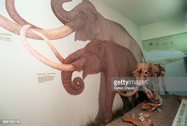 An exhibit at the Santa Barbara Museum of Natural History shows a model of a Pygmy Mammoth right in scale against paintings of other mammoths