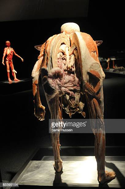 An exhibit is displayed at Gunther von Hagens' 'Body Worlds And The Mirror Of Time' exhibition at the O2 bubble on October 23 2008 in London England...