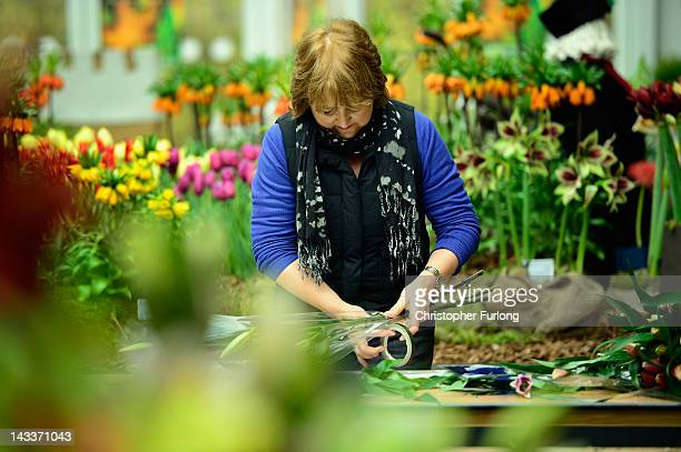An exhibitor arranges flowers as horticulturalists prepare their displays for the Harrogate Flower Show on April 25 2012 in Harrogate England Over...