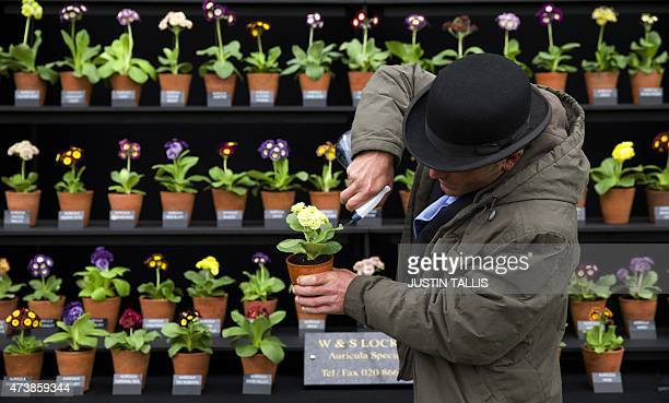 An exhibitor waters his Auricula plants on display in the Great Pavilion at the 2015 Chelsea Flower Show in London on May 18 2015 The Chelsea flower...