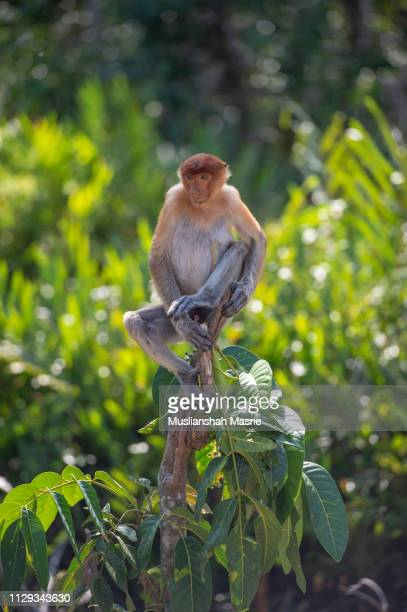 an exotic and highly endangered proboscis monkey, nasalis larvatus or long-nosed monkey, also known as the bekantan, is a reddish-brown arboreal old world monkey that is endemic to the southeast island of borneo. - ugly monkey stock photos and pictures