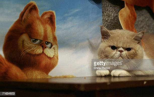 An Exotic Shorthair is displayed during a cat show to promote movie Garfield at the Nanjing Workers Cinema on August 11 2006 in Nanjing of Jiangsu...