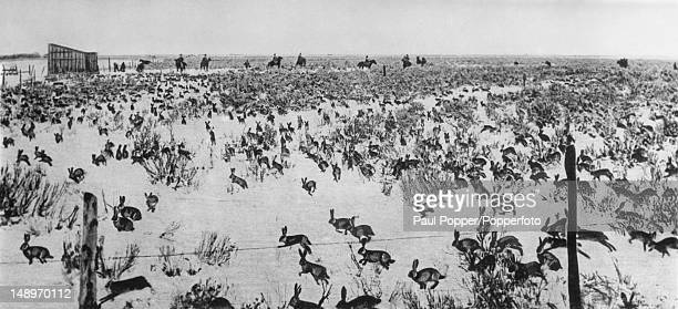 An extensively retouched image of a rabbit drive taking place in South Australia circa 1930 The hunters can be seen on horseback in the background...