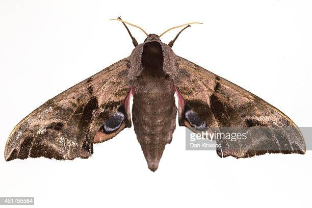 An Eyed Hawk Moth is pictured on June 22 2014 in London England This weekend saw the annual Moth Night where moth recorders lepidopterists and moth...