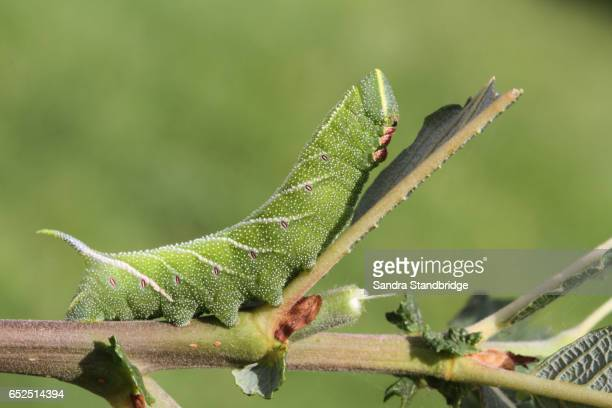 An Eyed Hawk-moth Caterpillar (Smerinthus ocellata) feeding on willow.