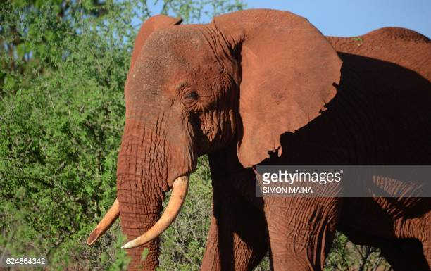 An female elephant is pictured in Tsavo East national park on November 21 2016 in Voi / AFP PHOTO / SIMON MAINA