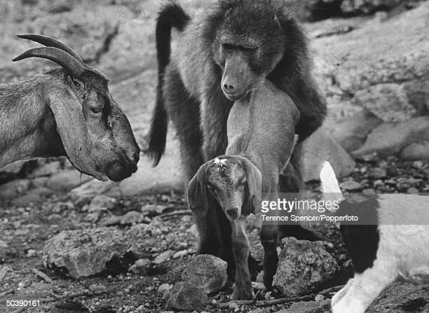 An goat hearding baboon escorting a baby goat back to the herd