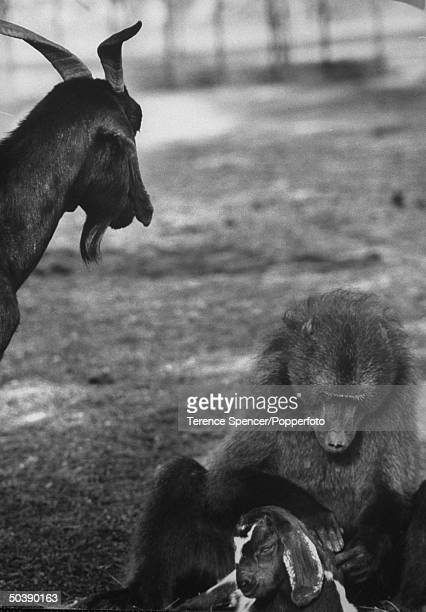 An goat hearding baboon while grooming a baby goat