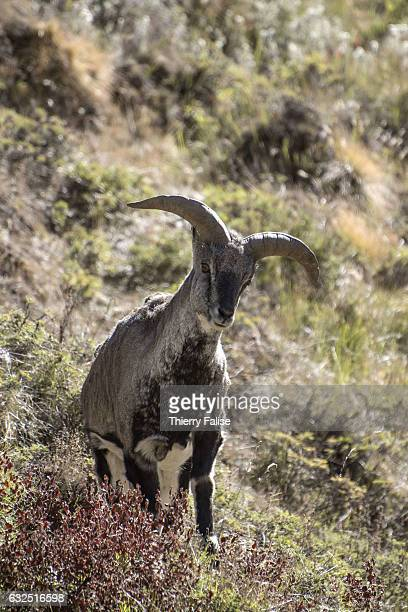 An Himalayan blue sheep or bharal grazes in the valley of the Bhagirathi River which marks the origin of the Ganges River in the Western Himalayas...