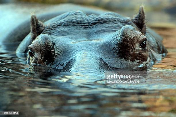 An hippo swimms in the zoo in Berlin on January 28 2017 / AFP / dpa / Maurizio Gambarini / Germany OUT