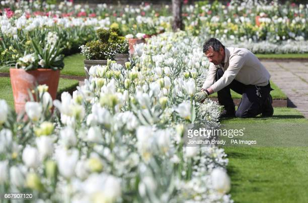 An Historic Royal Palaces gardener undertakes some weeding in the White Garden at Kensington Palace London created to celebrate the life of Diana...
