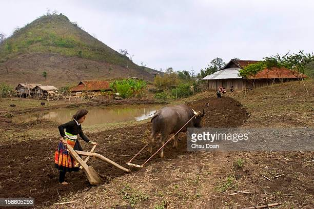 An H'mong ethnic woman ploughs on a maize field in front of her house in Hong Ngai district Son La province The province of Son La in a northern...