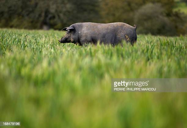 An Iberian black pig forages in a wide green field near Santa Teresa on May 7 2013 The exquisite cured ham produced from this breed which is found in...