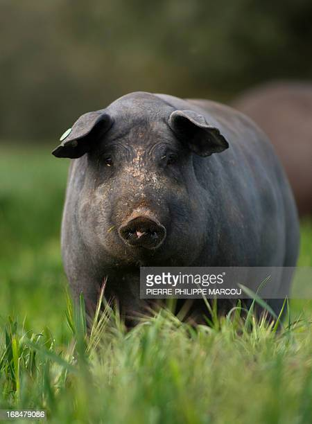 An Iberian black pig looks on as he forages in a wide green field near Santa Teresa on May 7 2013 The exquisite cured ham produced from this breed...