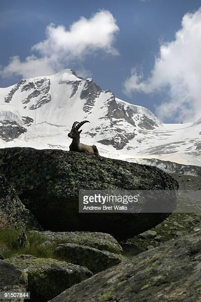 an ibex resting on a rock ledge below a mountain - parco nazionale del gran paradiso foto e immagini stock