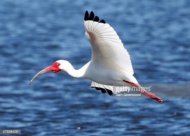 An ibis flies along the 18th hole during a practice round prior to the Arnold Palmer Invitational presented by MasterCard at the Bay Hill Club and...