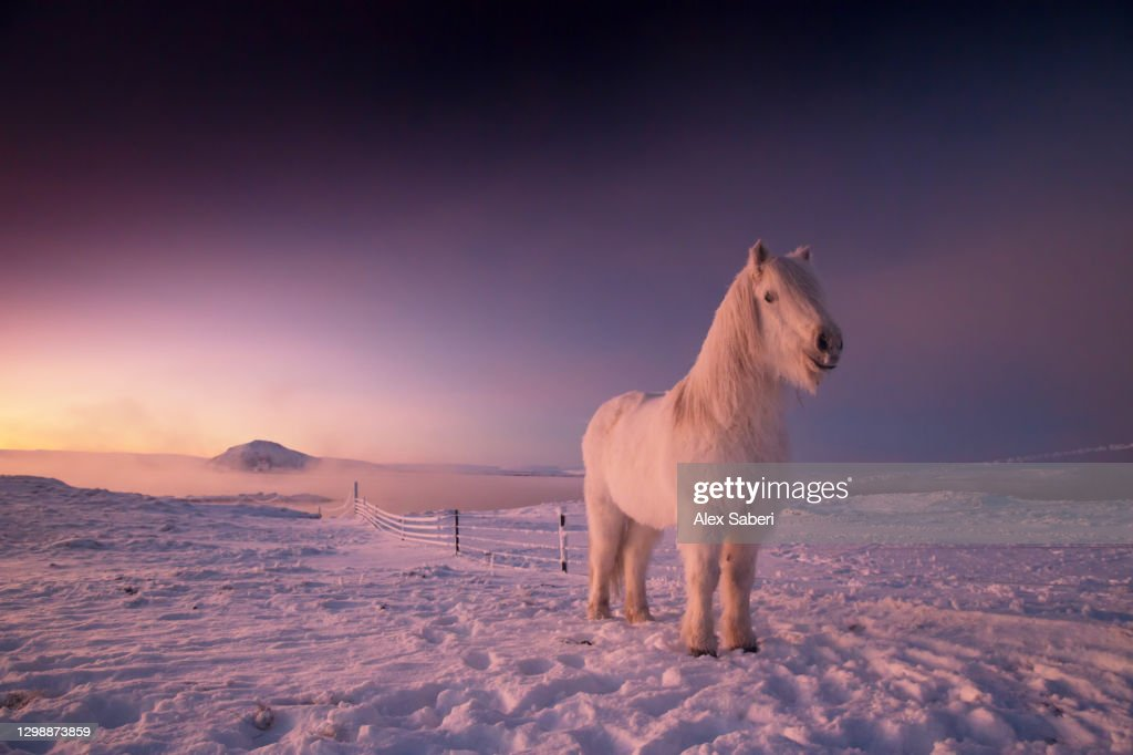 An Icelandic horse in the snow. : Stock Photo