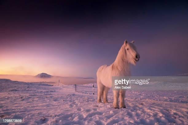an icelandic horse in the snow. - alex saberi stock-fotos und bilder