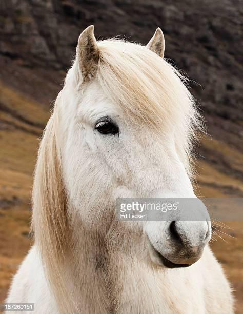 An Icelandic horse