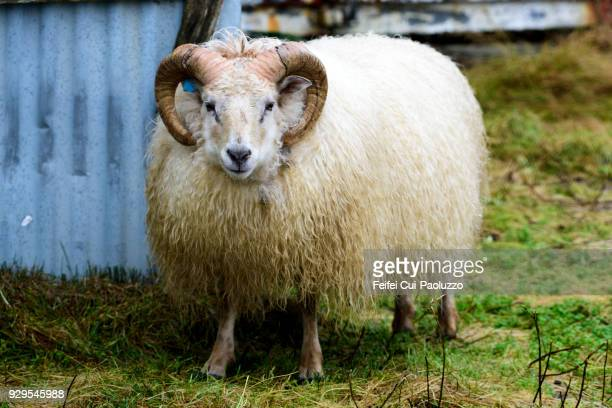 an icelandic sheep at djúpivogur, eastern iceland - austurland stock pictures, royalty-free photos & images
