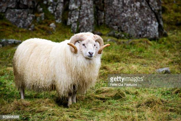 an icelandic sheep at djúpivogur, eastern iceland. - icelandic sheep stock photos and pictures