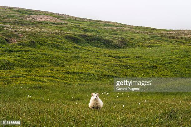 an icelandic sheep standing in a field - icelandic sheep stock photos and pictures