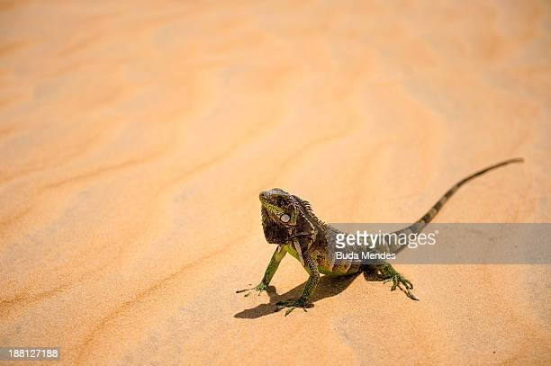 An iguana a genus of reptiles characteristic of tropical areas of northeastern Brazil walks in Golden Dunes on November 14 2013 in Natal Brazil