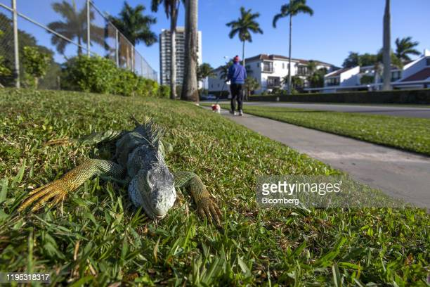 An iguana immobilized from cold temperatures lays on grass in West Palm Beach, Florida, U.S., on Wednesday, Jan. 22, 2020. Cold-stunned iguanas fell...