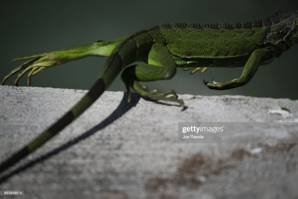 An iguana is seen as the Florida Fish and Wildlife Conservation Commission continues its efforts to try and control the invasive species on March 13, 2018 in Miami, Florida. The commission has teams of people that are trying to eliminate the reptiles by killing them, which would prevent them from eating native plants and wildlife as well as disturbing the natural Florida habitat that they are living in.