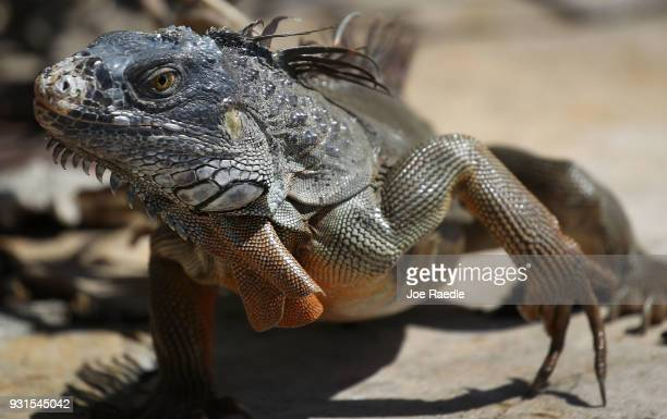 An iguana is seen as the Florida Fish and Wildlife Conservation Commission continues its efforts to try and control the invasive species on March 13,...