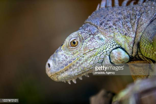An iguana is seen during the hot weather and high humidity in Antalya Zoo and Nature Park in Antalya Turkey on August 08 2020